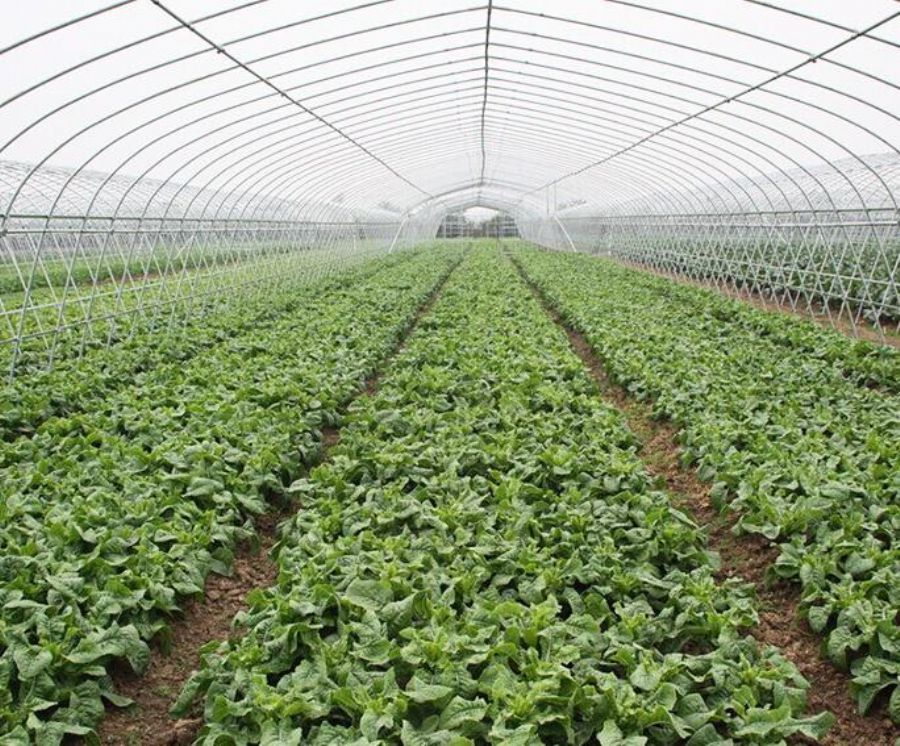 Plastic_Film_Galvanized_Frame_Tunnel_Greenhouse_For_Vegetable_Planting