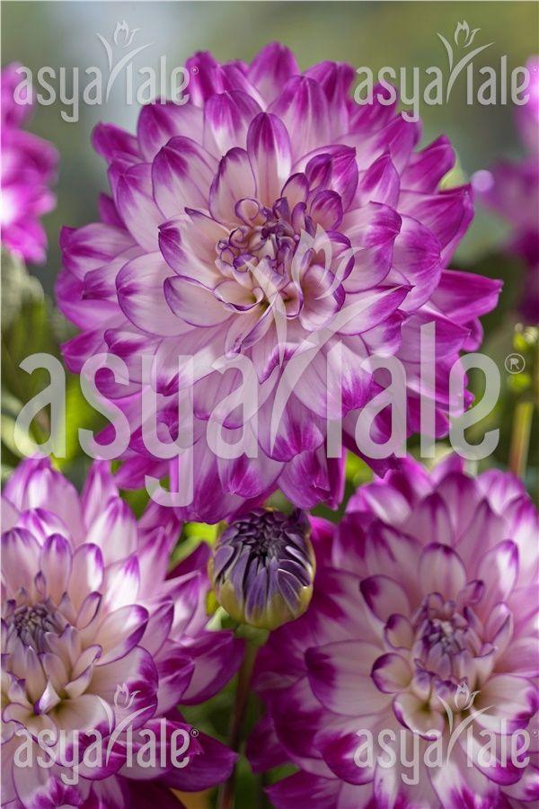 Sümbül soğanı,hycinthus bulb